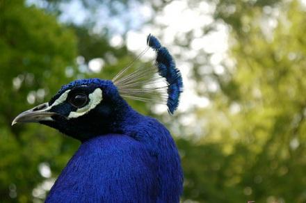 Peacock11