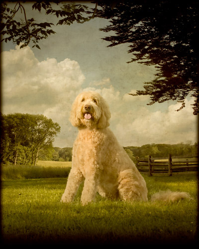 Pet Portraits by Andrew Pinkham 03