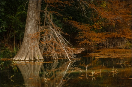 Autumn Cypress